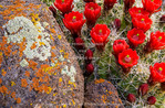 CAPITOL REEF NATIONAL MONUMENT, UTAH. USA. Claret cup cactus (Echinocereus triglochidiatus) in bloom & lichen on weathered basalt. Waterpocket Fold.