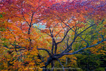 Acadia National Park. Maine. USA. Maple tree in autumn.  Mt. Desert Island.