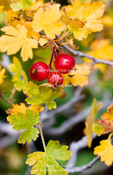 Utah. USA. Gooseberries in autumn (Ribes montigenum). Wasatch Plateau. Fishlake National Forest.