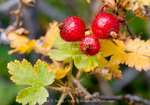 Utah. USA. Goosberries in autumn (Ribes montigenum). Wasatch Plateau. Fishlake National Forest.