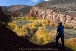 Capitol Reef National Park, Utah. USA. Hiker stops to take a photo above riparian vegetation along Fremont River in autumn. Fremont River Gorge.