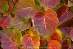 Ivy leaves in autumn. Utah. USA.