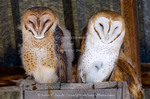 Barn owls (Tyto alba). Fledgling on left still showing some downy feathers; adult (probably male) on right. Second fledgling behind adult. Perched on nesting box in hay barn in northern Utah.