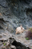 Corsica. France. Europe. Goat on steep cliffs on coast of Cap Corse.