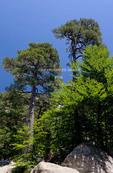 Corsica. France. Europe. Larecio pine trees (Pinus larecio) & beech trees (Fagus sylvatica). Along GR20 trail (aka, Fra li Monte) near Vizzavona..