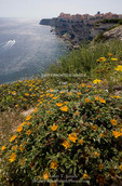 Corsica. France. Europe. Wildflowers at top of sea cliffs. City of Bonifacio in distance.