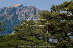 Corsica. France. Europe. Laricio pines (Pinus laricio) below Aiguilles de Bavella & massif of Monte Incudine. View from above Col de Bavella.