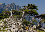 Corsica. France. Europe. Wind-shaped laricio pines & shrine to Our Lady of the Snows at Col de Bavella below pinnacles of Aiguilles de Bavella.