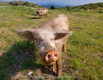 Corsica. France. Europe. Free range pigs foraging in mountains at Col de la Vaccia.