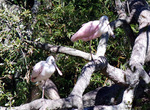 Roseate spoonbills, Cumberland Island, GA