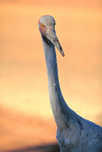 Brolga (crane) in Northern Territory, Australia