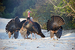 Wild turkeys in display during mating season