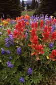 Indian Paintbrush and Lupines