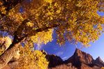 A Fremont Cottonwood in Zion Canyon