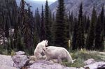 A Baby Mountain Goat and its Mother