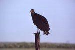 An American Black Vulture