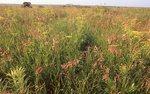 An Iowa Virgin Tallgrass Prairie