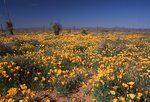 A Field of Mexican Gold Poppies