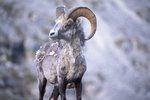 A Stone Sheep Ram