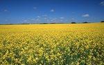 An Alberta Canola Field