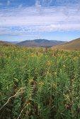 A Montana Grassland