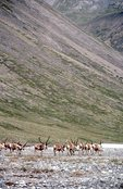 Migrating Caribou in the Aichilik River Valley
