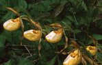 Large-flowered Yellow Lady's Slipper Orchid