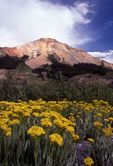 Rock Goldenrod at Red Mountain Pass