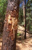 Black Bear Claw Marks on a Ponderosa Pine Tree