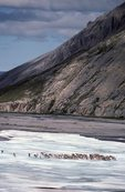 Caribou on Aichilik River Aufeis