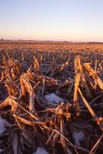 Stubble in an Illinois Cornfield