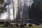 A Bison Herd at the Yellowstone River