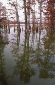 Bald Cypress Trees in Horseshoe Lake