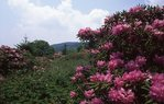 The Cloudland Rhododendron Gardens on the Appalachian Trail
