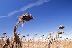 A Field of Dead Sunflowers