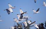 A Flock of White Ibis