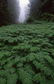 A Bed of Ferns below Klapatche Park, Wonderland Trail