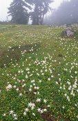Avalanche Lilies in St. Andrews Park, Wonderland Trail