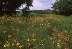 A Field of Indian Blanket in the Texas Hill Country
