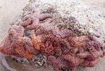 A Cluster of Starfish