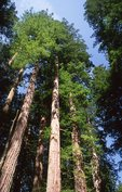 Redwoods in the Lady Bird Johnson Grove