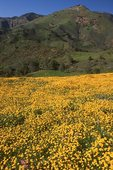 Goldfields in the San Rafael Mountains