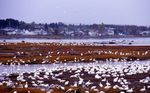 Snow Geese at the St. Lawrence River