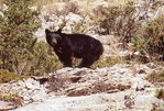 A Black Bear in the Teton River Valley