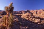 A Mojave Yucca near Wildrose