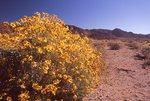 Brittlebush in the Sonoran Desert