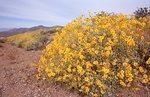 Brittlebush in the Mojave Desert