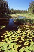Water Lilies in Beaver Marsh