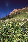 Wildflowers below Engineer Peak