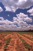 A Louisiana Farm Field